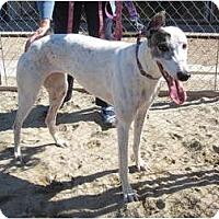 Adopt A Pet :: Georgie Girl - Carlsbad, CA