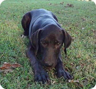 Labrador Retriever Mix Puppy for adoption in berwick, Maine - Hershey
