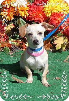 Dachshund Mix Dog for adoption in Marietta, Georgia - TINKER