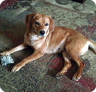 Beagle/Labrador Retriever Mix Dog for adoption in Knoxville, Tennessee - Ginger