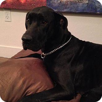 Great Dane Dog for adoption in Miami, Florida - Su