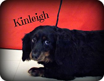 Dachshund Dog for adoption in Defiance, Ohio - Kinleigh