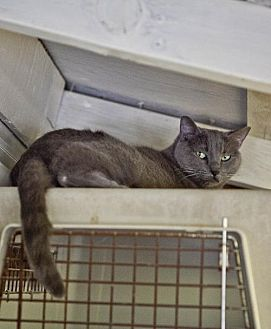 Russian Blue Cat for adoption in Midway City, California - Scout