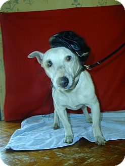 Jack Russell Terrier Dog for adoption in Inman, South Carolina - Max