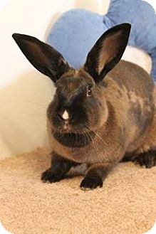 American Sable for adoption in Winchester, Virginia - Sansa