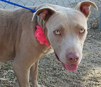 Pit Bull Terrier Mix Dog for adoption in Santa Cruz, California - Belle