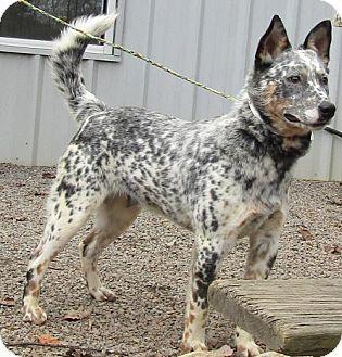 Australian Cattle Dog Mix Dog for adoption in Marble, North Carolina - Bandit
