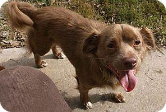 Dachshund Mix Dog for adoption in Georgetown, Kentucky - FUZZY