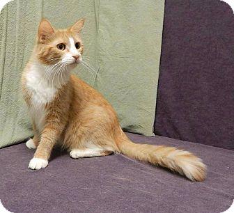 Domestic Shorthair Cat for adoption in Anoka, Minnesota - Clara
