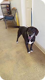 Labrador Retriever Mix Dog for adoption in Lebanon, Maine - Kramer
