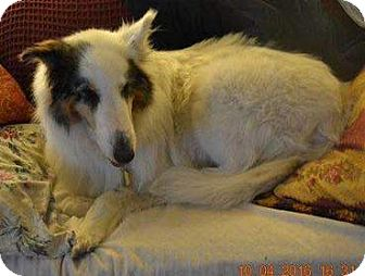 Collie Dog for adoption in Powell, Ohio - Sierra