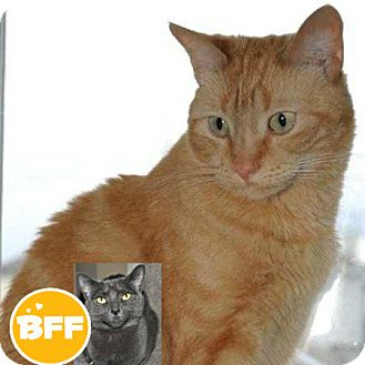 Domestic Shorthair Cat for adoption in Edmonton, Alberta - George Weasley
