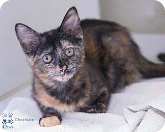 Calico Kitten for adoption in Merrifield, Virginia - Chocolate