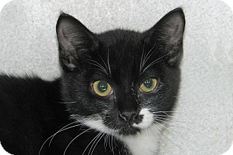 Domestic Shorthair Kitten for adoption in Ruidoso, New Mexico - Beetle