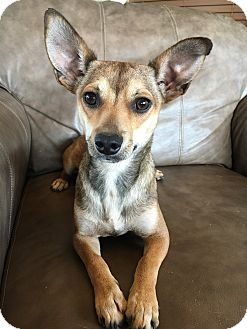Chihuahua Mix Dog for adoption in Fredericksburg, Texas - Carmel