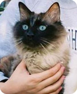 Ragdoll Cat for adoption in Garland, Texas - Henry