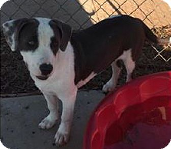 Beagle/Basset Hound Mix Puppy for adoption in Sylacauga, Alabama - Everly