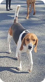 Beagle/Hound (Unknown Type) Mix Dog for adoption in Lexington, Massachusetts - Trooper