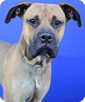 Mastiff Mix Dog for adoption in LAFAYETTE, Louisiana - PRINCE