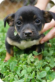 Pomeranian/Chihuahua Mix Puppy for adoption in Newark, Delaware - Luca