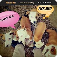 Adopt A Pet :: Puppies - Palmdale, CA