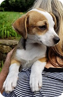 Chihuahua/Jack Russell Terrier Mix Puppy for adoption in Southbury, Connecticut - Sandy