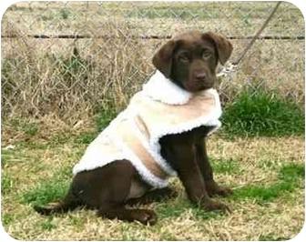 Labrador Retriever Dog for adoption in Muldrow, Oklahoma - Kelsey