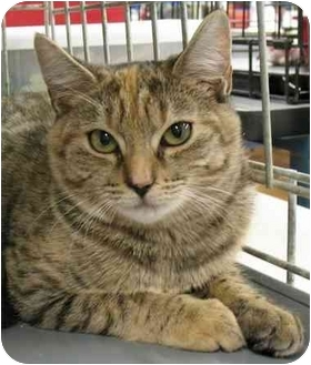 Domestic Shorthair Cat for adoption in Plainville, Massachusetts - Rudie3