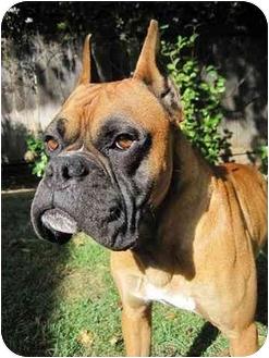 Boxer Mix Dog for adoption in Davis, California - Coyote