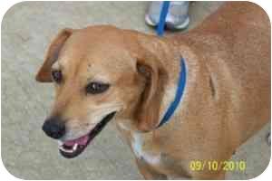 Labrador Retriever/Beagle Mix Dog for adoption in Naugatuck, Connecticut - Ava Sr.