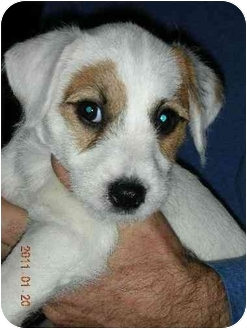 Jack Russell Terrier Puppy for adoption in Foster, Rhode Island - Mochi-Courtesy Post