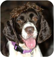 English Springer Spaniel Mix Dog for adoption in Wooster, Ohio - BELLE