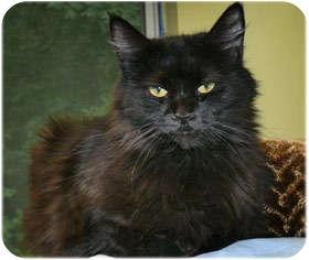 Domestic Longhair Cat for adoption in Milford, Massachusetts - Moonlight