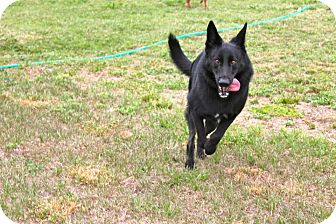 German Shepherd Dog Dog for adoption in Green Cove Springs, Florida - Chloe