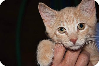American Shorthair Kitten for adoption in New Egypt, New Jersey - Tiger