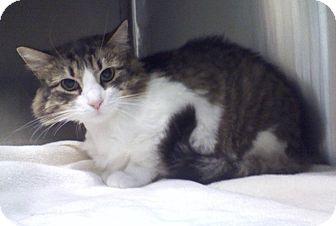 Domestic Longhair Cat for adoption in Elmhurst, New York - Chloe