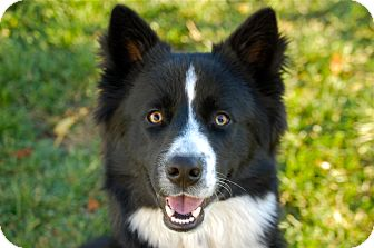 Border Collie Mix Dog for adoption in Meridian, Idaho - Muskateer
