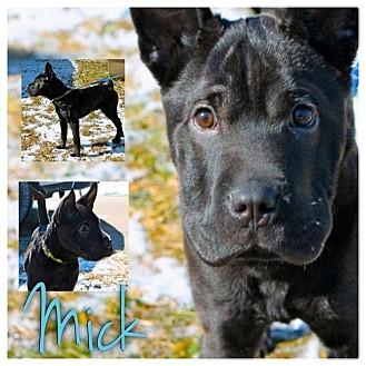 Basenji/Shar Pei Mix Puppy for adoption in Garden City, Michigan - Mick