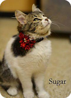 Domestic Mediumhair Kitten for adoption in Arlington/Ft Worth, Texas - Sugar