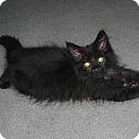 Adopt A Pet :: Puff Ball - Kirkwood, DE