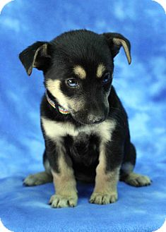 Siberian Husky/Australian Shepherd Mix Puppy for adoption in Westminster, Colorado - Hops