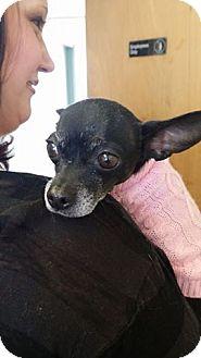 Chihuahua Mix Dog for adoption in Pueblo, Colorado - Rose