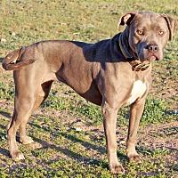 American Staffordshire Terrier Mix Dog for adoption in Toluca Lake, California - Bella