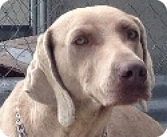 Weimaraner Dog for adoption in Sun Valley, California - Nala