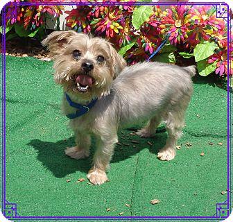 Yorkie, Yorkshire Terrier Dog for adoption in Marietta, Georgia - CASH