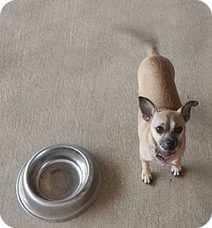 Chihuahua Mix Dog for adoption in Salem, Oregon - Rosie