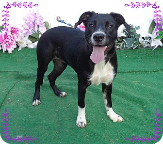 Labrador Retriever/Border Collie Mix Dog for adoption in Marietta, Georgia - DAISY