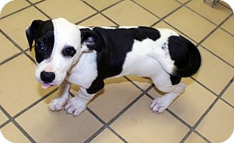 Jack Russell Terrier/Boston Terrier Mix Puppy for adoption in Lumberton, North Carolina - Polly