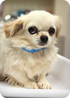 Japanese Chin/Pekingese Mix Dog for adoption in College Station, Texas - Dill (6.7 pounds)