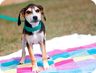 Beagle Mix Puppy for adoption in Tampa, Florida - Lady